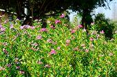 pic of petunia  - beautiful Petunia flower  - JPG