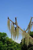 Spanish Moss (tillansia Usenoides)