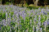 Mealy Cap Sage  Flower (salvia Farinacea)
