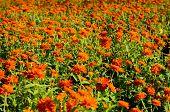 Zinnia  Flower (zinnia Elegans)