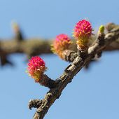 Larch Tree Branch In Spring