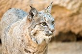 Bobcat head shot , Arizona