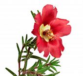 Red Flower Portulaca Isolated On White