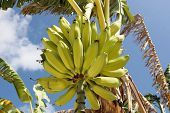 Big Bunch Of Bananas In The Tree.