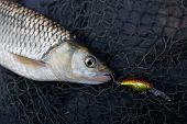 image of chub  - Chub caught on plastic lure lying in fishing net - JPG