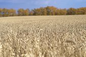 picture of pores  - autumn field of wheat ripened harvest - JPG