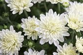 Closeup Of White Chrysanthemum Flower