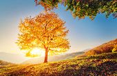 image of sunrise  - Majestic alone beech tree on a hill slope with sunny beams at mountain valley - JPG
