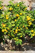 stock photo of tangerine-tree  - Beautiful tangerine tree with ripe fruits in the garden - JPG