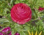 red buttercup flower closeup