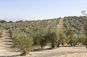 Spanish Olive Field