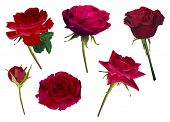 illustration with six rose flowers isolated on white background