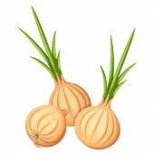 Three brown onions. Vector illustration.