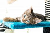 Grey Tabby Kitten With Blue Eyes Lying On Blue Plush Soft Surface