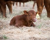 picture of calves  - Red angus calf laying in hay while licking his nose - JPG