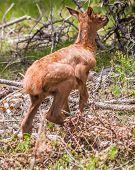 Elk calf running