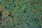 Texture Of Autumn Green Hedges