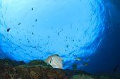 image of cuttlefish  - Cuttlefish underwater - JPG