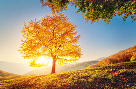 picture of yellow  - Majestic alone beech tree on a hill slope with sunny beams at mountain valley - JPG