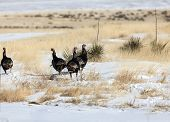 stock photo of kansas  - Wild turkeys on prairie in Kansas - JPG