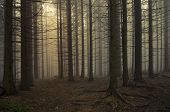 picture of surreal  - Mysterious dark pine tree forest with fog - JPG