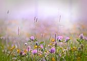 image of red clover  - Red clover early in morning in meadow - JPG