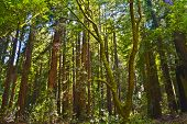 picture of sequoia-trees  - Sequoia trees in Muir Woods park California - JPG
