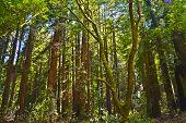 image of sequoia-trees  - Sequoia trees in Muir Woods park California - JPG