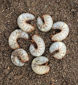 stock photo of larvae  - Group of beetle larvae on the ground - JPG