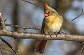 image of cardinal  - Female Cardinal sitting in tree on branch - JPG