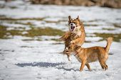 image of mongrel dog  - Two Young mongrel dogs at play in the snow - JPG