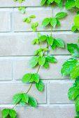 pic of creeper  - The Green Creeper Plant on the Wall - JPG