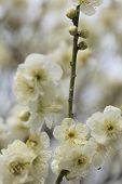 image of kinky  - Beautiful plum flowers bloom in spring of Japan - JPG