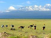 stock photo of kilimanjaro  - Grey Crowned Crane Balearica regulorum gibbericeps on Kilimanjaro mountain background - JPG