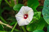 foto of morning  - Morning glory flowers - JPG