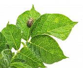 image of potato bug  - Potato bug eating potato plant isolated on white - JPG