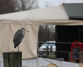 picture of amputee  - Gray heron  - JPG