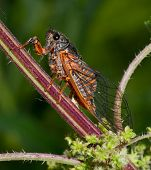 picture of cricket insect  - Insect singing Cicada on a green background - JPG