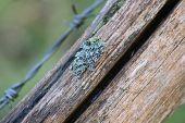 stock photo of lichenes  - Foliose lichen species on wood - JPG