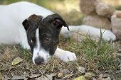 stock photo of sad dog  - A sad eyed looking dog is lying down - JPG
