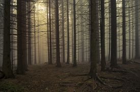 picture of scary haunted  - Mysterious dark pine tree forest with fog - JPG