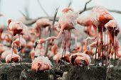 stock photo of flamingo  - Colony of Great Flamingo - JPG