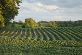 stock photo of soybeans  - Rows of soybeans in a Minnesota field with trees and clouds in late afternoon light - JPG