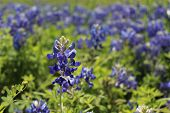 stock photo of bluebonnets  - One tall bluebonnet rising above a field of flowers - JPG