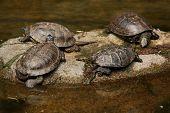 stock photo of ponds  - European pond turtle  - JPG