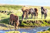 picture of iceland farm  - Horses in a green field of grass at Iceland Rural landscape - JPG