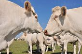 picture of charolais  - white cows face to face among cattle in meadow - JPG