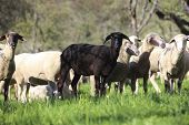 stock photo of sheep  - flock of sheep with one black sheep - JPG