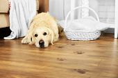picture of paw  - Cute Labrador and muddy paw prints on wooden floor in room - JPG