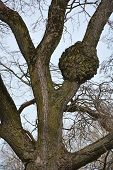 picture of bare-naked  - Naked oak tree at the winter season - JPG